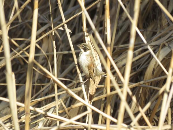 オオジュリン 多摩川河口付近の野鳥