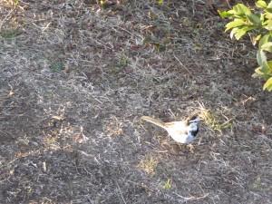 ハクセキレイ 葛西臨海公園の野鳥