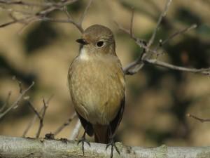 ジョウビタキ 雌 多摩川河口付近の野鳥