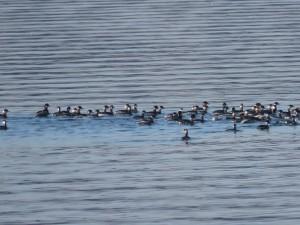 ハジロカイツブリの群れ 涸沼の野鳥