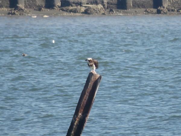 ミサゴ 多摩川河口付近の野鳥
