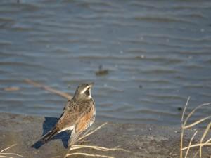 ツグミ 多摩川河口付近の野鳥