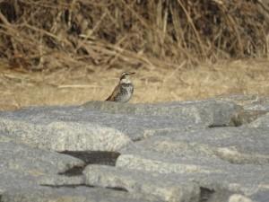 ツグミ 葛西臨海公園の野鳥
