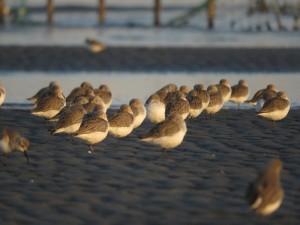 ハマシギ 群れ 三番瀬海浜公園