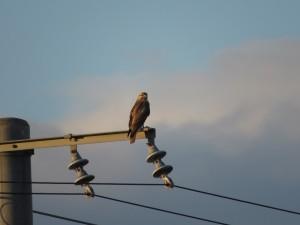 ノスリ 大北川河口付近の野鳥