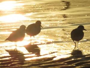 ミユビシギ 逆光 三番瀬海浜公園
