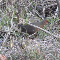 ヒクイナ 舞岡公園の野鳥