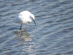 コサギ 多摩川河口付近の野鳥