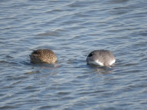 オナガガモ 多摩川河口付近の野鳥