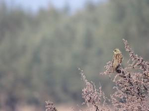 アオジ 涸沼の野鳥