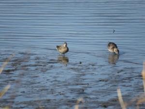 コガモ 多摩川河口付近の野鳥