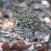 トラツグミ 新宿御苑の野鳥