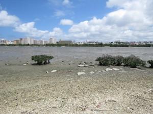 沖縄県 クロツラヘラサギ 漫湖