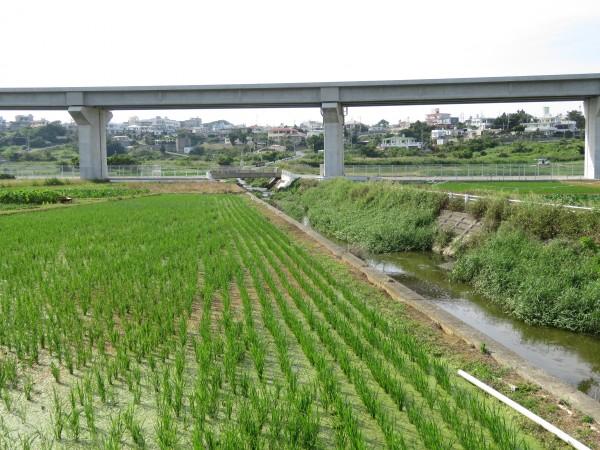 金武の田イモ畑