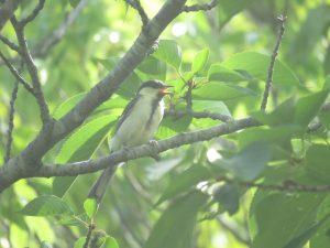 シジュウカラ 幼鳥 21世紀の森と広場