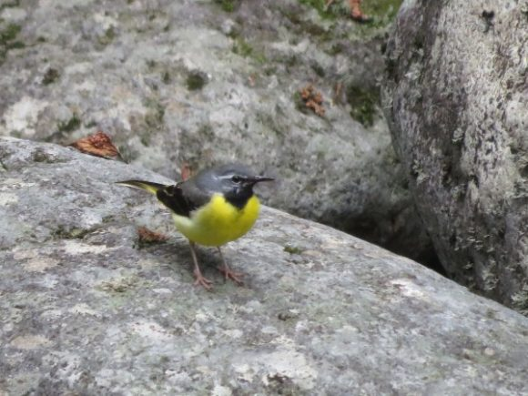 河川敷で見られる野鳥 キセキレイ