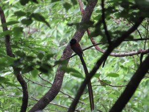 サンコウチョウ 栃木県民の森