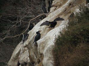 猿島 ウミウのコロニー