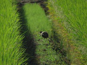 キジ オス 幼鳥 (1) 北印旛沼