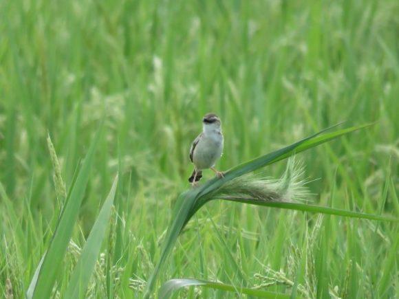 河川敷で見られる野鳥 セッカ