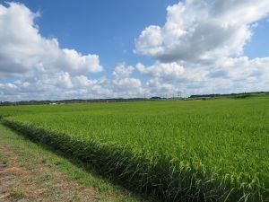 ムナグロの生息地 北印旛沼