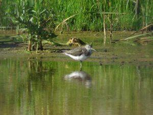 クサシギ 北印旛沼