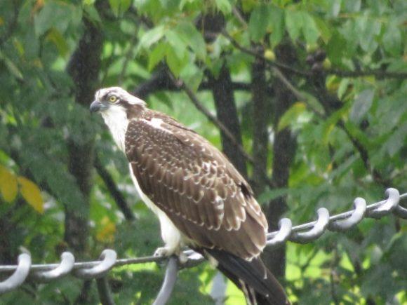 ミサゴ 渡良瀬遊水地 猛禽類