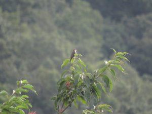 エゾビタキ 弘法山公園
