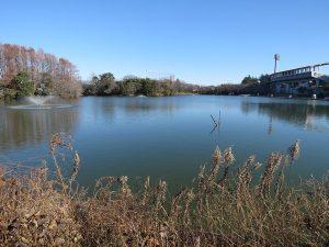 神奈川県のカワセミ 等々力緑地