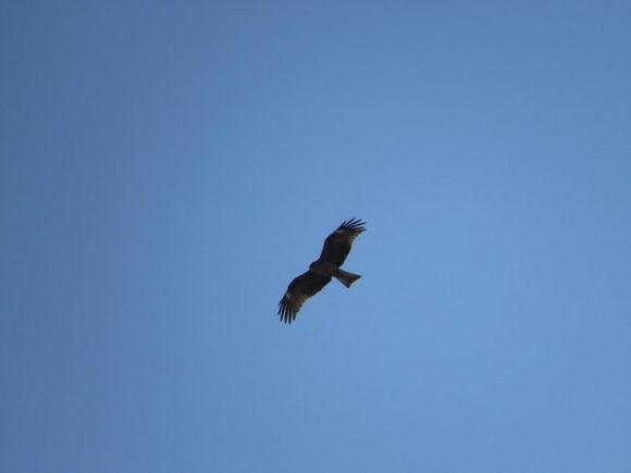 ディズニーランドの野鳥 トビ