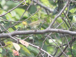 メボソムシクイ 東京港野鳥公園