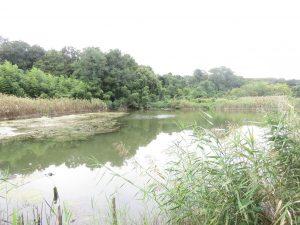 カモ類などの水鳥観察におすすめの探鳥地 東京港野鳥公園