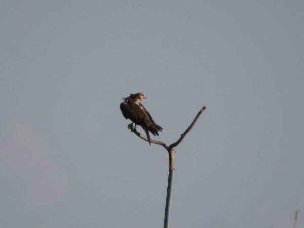 チュウヒ 稲敷 冬の猛禽類の観察におすすめの探鳥地