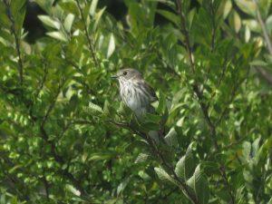 エゾムシクイ 東京港野鳥公園