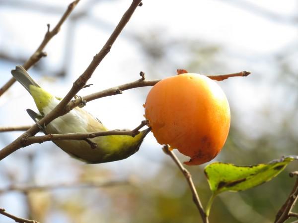 柿を食べるメジロ