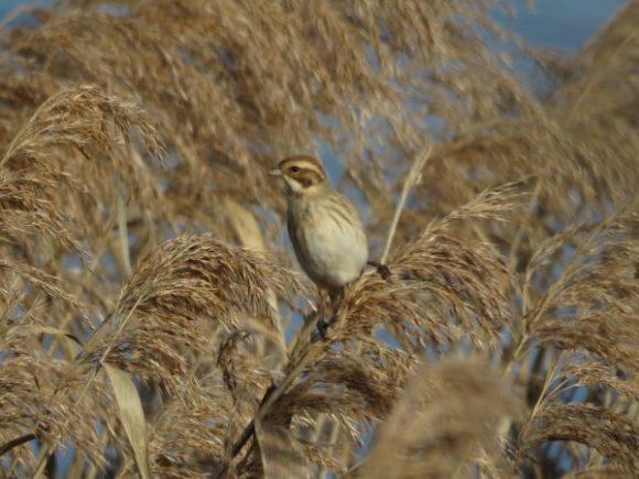 河川敷で見られる野鳥 オオジュリン