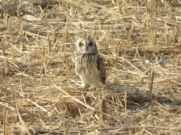 冬の猛禽類の観察におすすめの探鳥地 渡良瀬遊水地 コミミズク