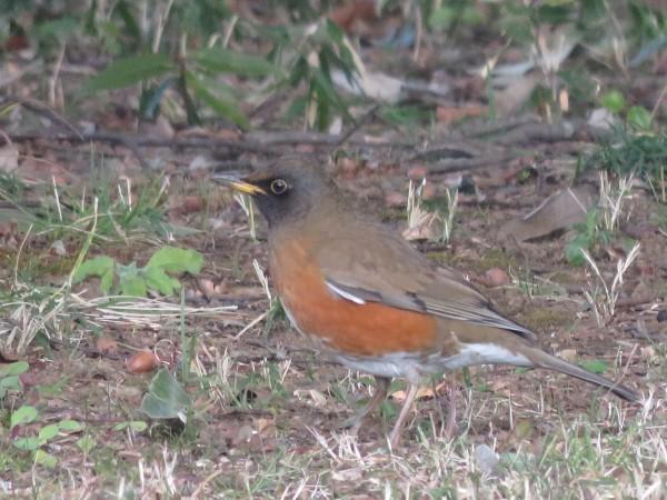 冬に地面で見られる野鳥 アカハラ