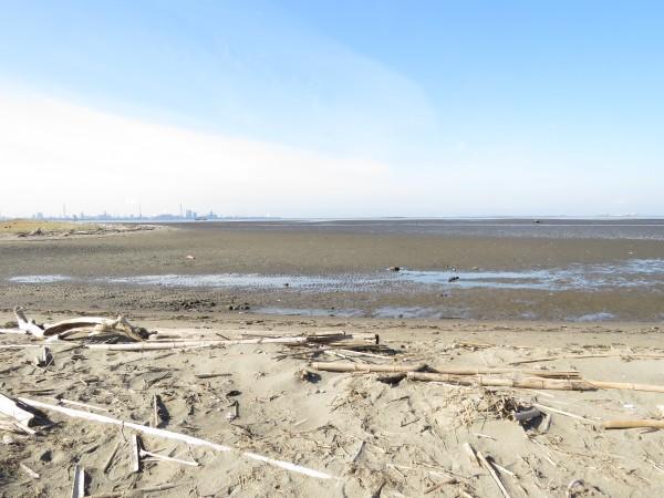 シギチドリ 東京湾の干潟 小櫃川河口