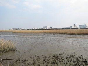 タシギの生息地 多摩川六郷橋緑地