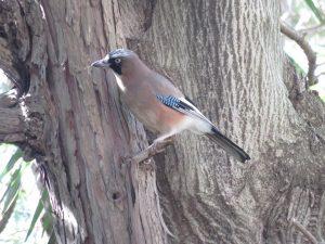 清水公園の野鳥 カケス