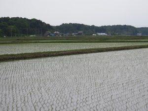 ムナグロの生息地 手賀沼