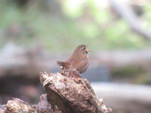 高鉢の野鳥 ミソサザイ