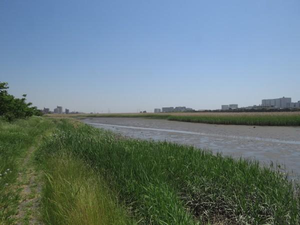 オオヨシキリの生息地 六郷橋緑地