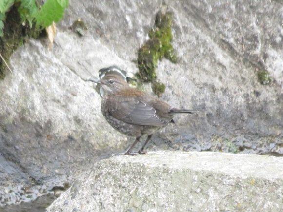 カワガラス 幼鳥