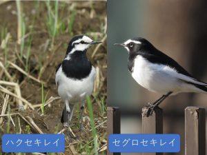 似ている野鳥の違いと見分け方 ハクセキレイとセグロセキレイ