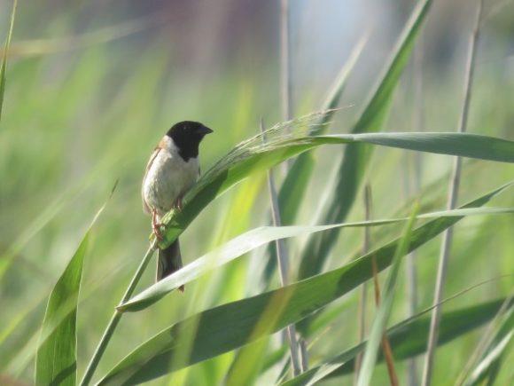 河川敷で見られる野鳥 コジュリン