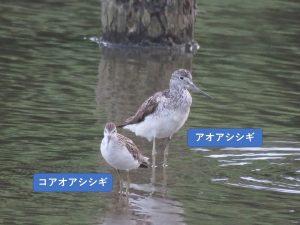 似ている野鳥の違いと見分け方 アオアシシギ コアオアシシギ