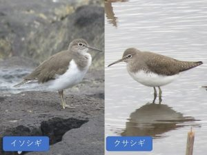 似ている野鳥の違いと見分け方 イソシギ クサシギ