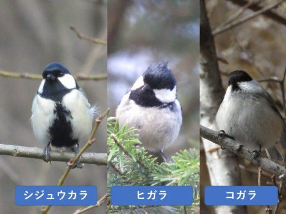 似ている野鳥の違いと見分け方 シジュウカラ ヒガラ コガラ